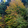 Beech in Autumn Colors