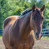 Captain (Quarter Horse)