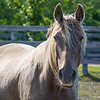 Sundance (Kentucky Mountain Horse)