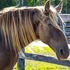 Sundance (Kentucky Mountain Horse)
