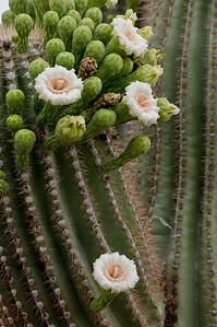 Saguaro Blooms
