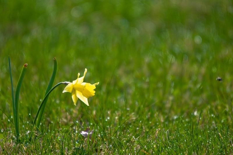 Solo Daffodil