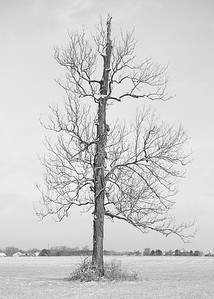 Shagbark hickory in winter in rural indiana
