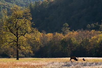 Elk Grazing in Cataloochee