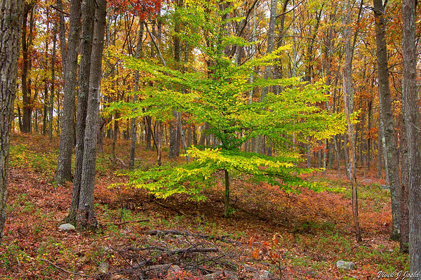 Last tree standing holding on to its green leaves in a Sea of Fall Color Forest
