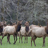 Wild elk herd that frequently congregates in a valley about sixty miles west of Portland