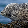 Pacific Harbor Seal near Lime Kiln Lighthouse on San Juan Island
