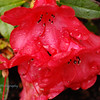 Roseburg Rhododendrons