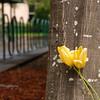 Tulips - University of Oregon