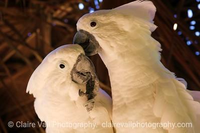 Umbrella Cockatoo Couple