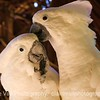 Umbrella Cockatoo Couple