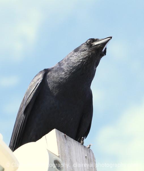 Crow and Sky