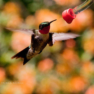 Ruby Throated Hummingbird; Archilochus colubris