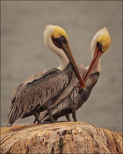 """Mines bigger than yours..."" Scenes from around La Jolla, California; Pelicans at play."