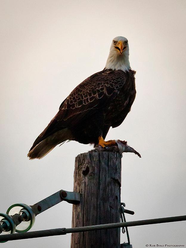 An American Bald Eagle (Haliaeetus leucocephalus) photographed in the wild on Sullivan's Island, SC in 2012.