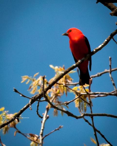 Scarlet Tanager; Piranga olivacea