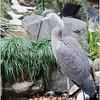 Great Blue Heron, Atlanta, Ga, backyard pond.