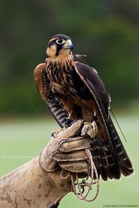 Aplomado Falcon; Falco femoralis