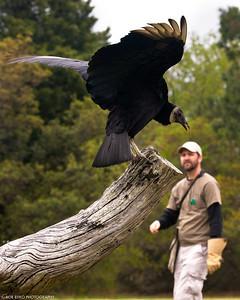 Black Vulture; Coragyps atratus