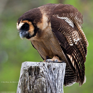 Asian Brown Wood Owl; Strix leptogrammica