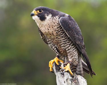 Peregrine Falcon; Falco peregrinus