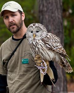 Ural Owl; Strix uralensis