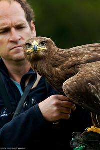 Steppe Eagle; Aquila nipalensis