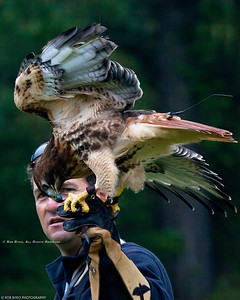 Red Tailed Hawk; Buteo jamaicensis