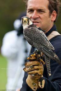 Lanner Falcon; Falco biarmicus
