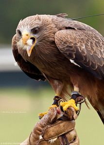 Yellow Billed Kite; Milvus parasitus