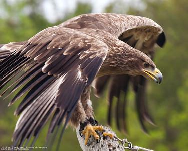 Tawny Eagle; Aquila rapax