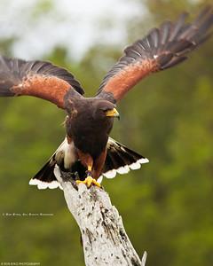 Harris' Hawk; Parabuteo unicinctus