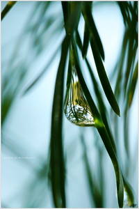"""Soul's Reflection"" A droplet of rainwater, a cluster of pine needles. Is there anything simpler, yet more complex?"