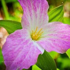 Catesby's Trillium; Trillium catesbaei.