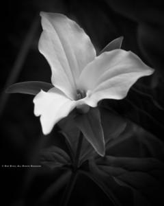 Large-Flowered Trillium; Trillium grandiflorum