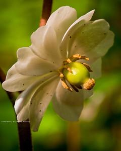 Mayapple; Podophylium peltatum.
