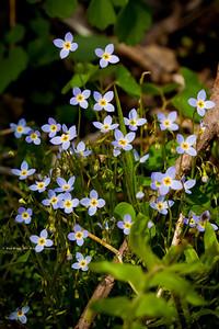 Bluets; Houstonia caerulea