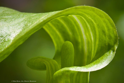Jack-In-The-Pulpit; Arisaema triphyllum.