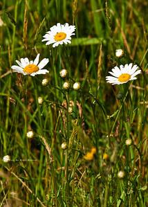 Ox-eye Daisy; Chrysanthemum leucanthemum;