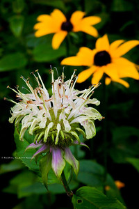 Basal Bee Balm; Manarda clinopodia; with, Black-eyed-Susan; Rudbeckia hirta
