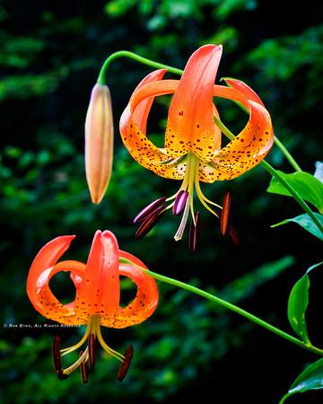 Turks-cap Lily; Lilium superbum