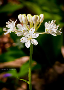 Speckled Wood Lily or White Clintonia; Clintonia umbellulata.