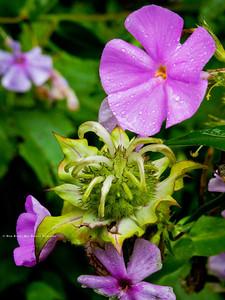 Basal Bee Balm; Manarda clinopodia; with. Wild Pink; Silene caroliniana