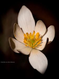 Bloodroot; Sanguinaria canadensis