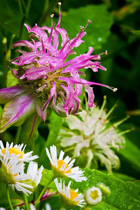 Basal Bee Balm; Manarda clinopodia
