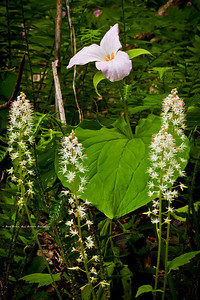Large-Flowered Trillium; Trillium grandiflorum; grouped with cluster of Foamflowers; Tiarella cordifolia