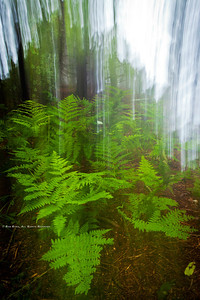 Oak Fern; Gymnocarpium dryopteris; Blue Ridge Parkway; Smoky Mountains; Earthsong Photography Workshop; July, 2011;