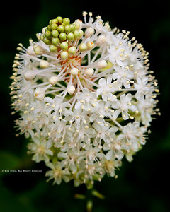 Fly Poison; Amianthium muscaetoxicum; Blue Ridge Parkway; Smoky Mountains; Earthsong Photography Workshop; July, 2011;