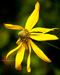 Cut-leaved Coneflower; Rudbeckia lanciniata; Blue Ridge Parkway; Smoky Mountains; Earthsong Photography Workshop; July, 2011;