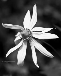 Cut-leaved Coneflower; Rudbeckia lanciniata; Blue Ridge Parkway; Smoky Mountains; Earthsong Photography Workshop; July, 2011;
